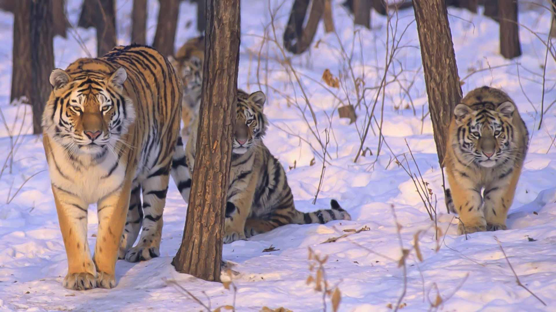 Zolushka la tigre siberiana salvata anche grazie ad AIB!