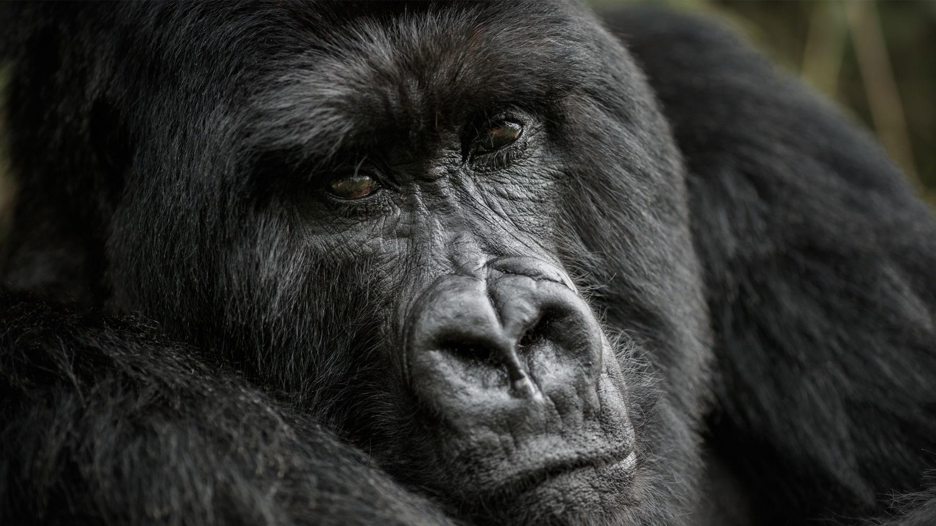 """Gorilla, reazioni """"umane"""" alla pioggia (VIDEO) incredibile!"""
