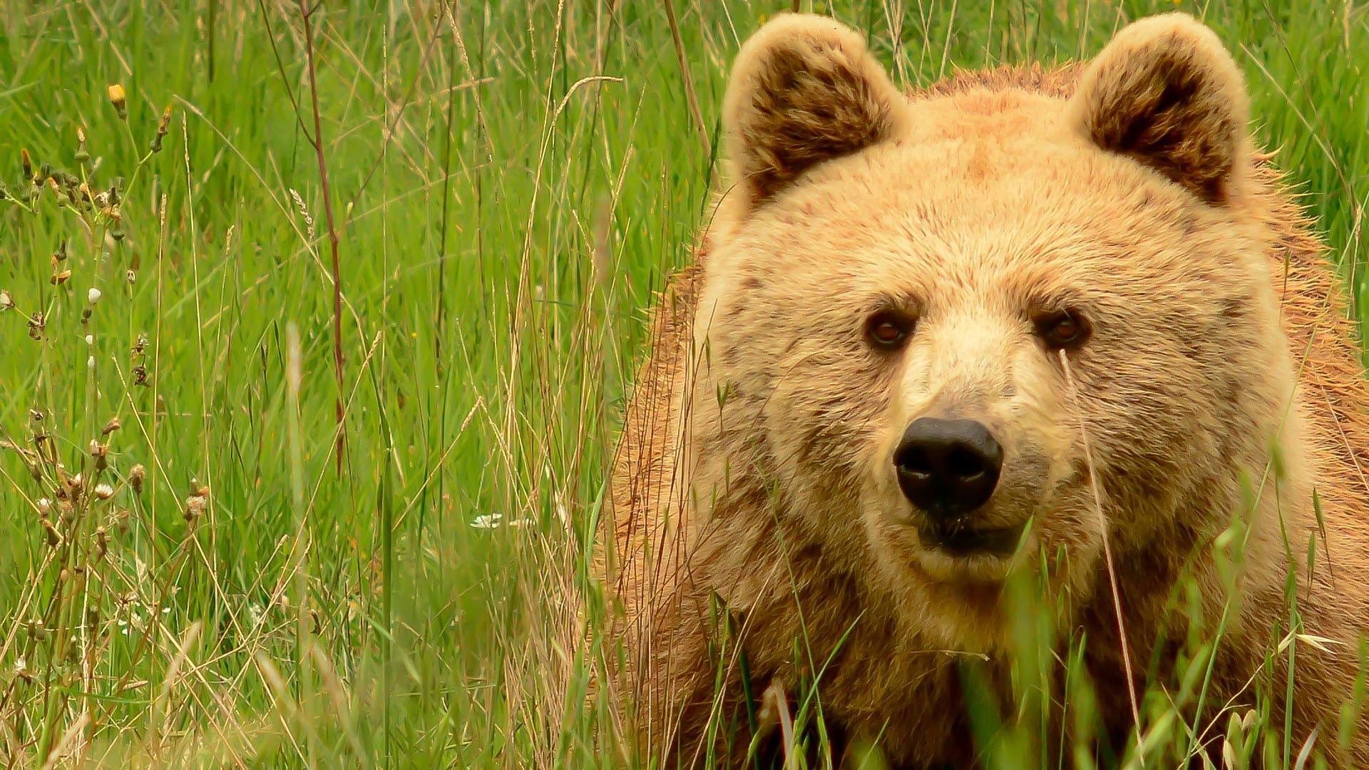 Nel Parco d'Abruzzo un 2018 con ben undici nuovi cuccioli di orso