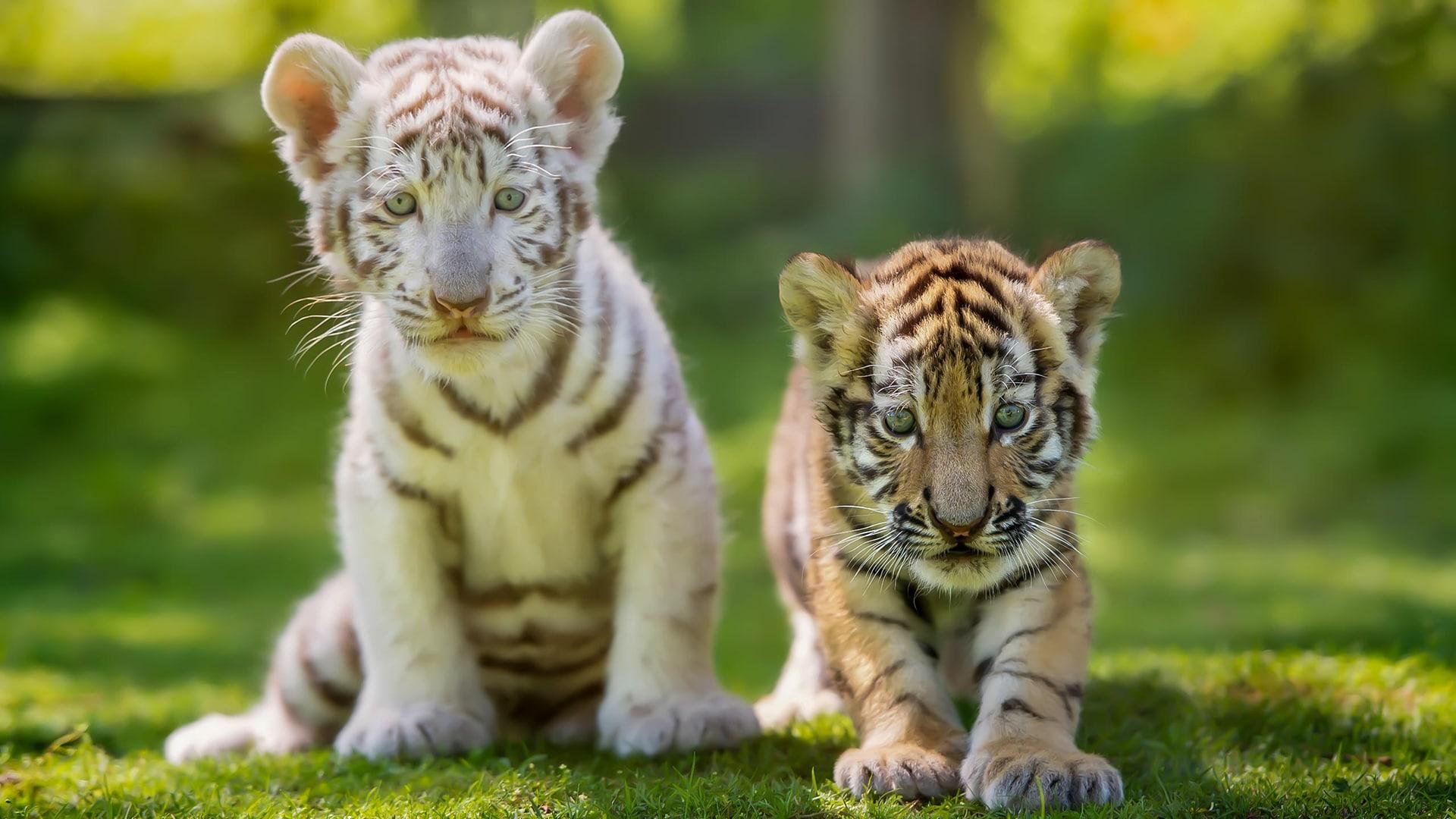 Tigre, scopriamo le differenze tra la specie del Bengala e quella siberiana