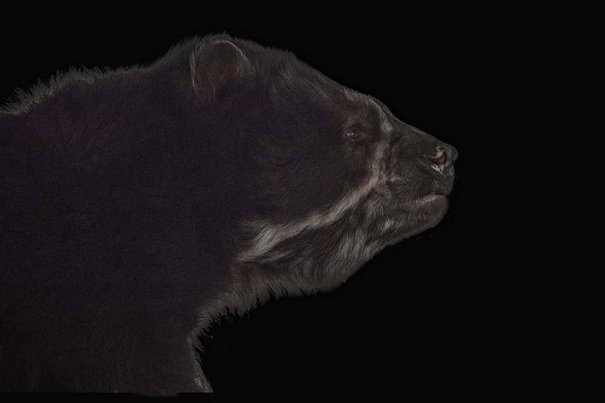 #05 - Stile AIB. Orso Andino, un esempio di post-produzione