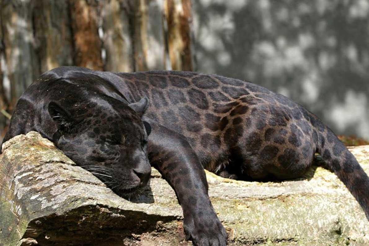 Giaguaro melanistico
