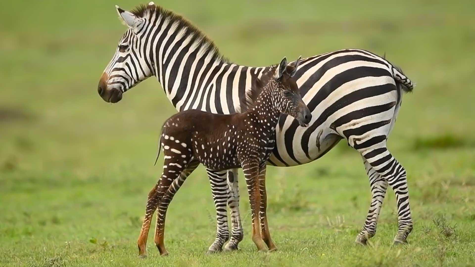 Tira la zebra a pois esiste davvero e si trova in Kenia, nel Maasai Mara!
