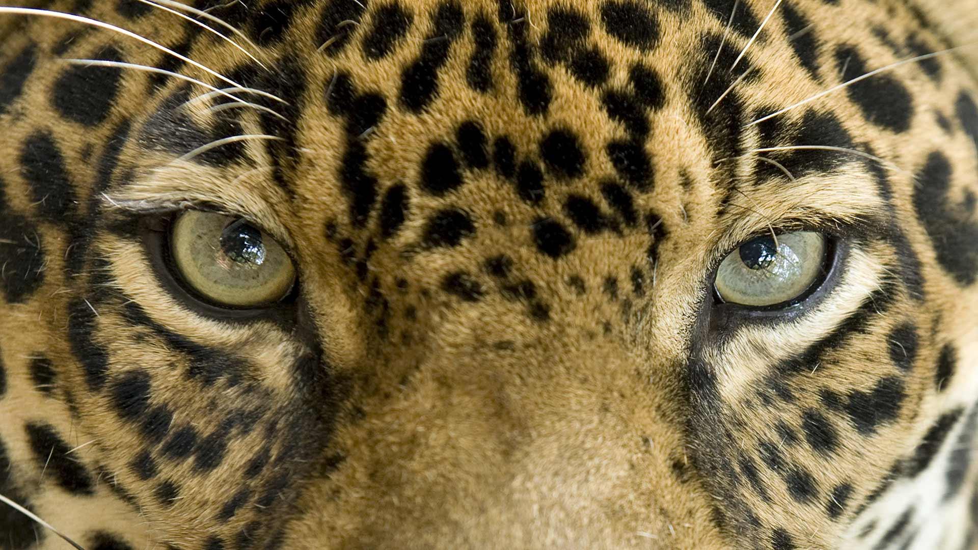 Giaguaro, dall'Amazzonia il felino dei caimani è a rischio estinzione