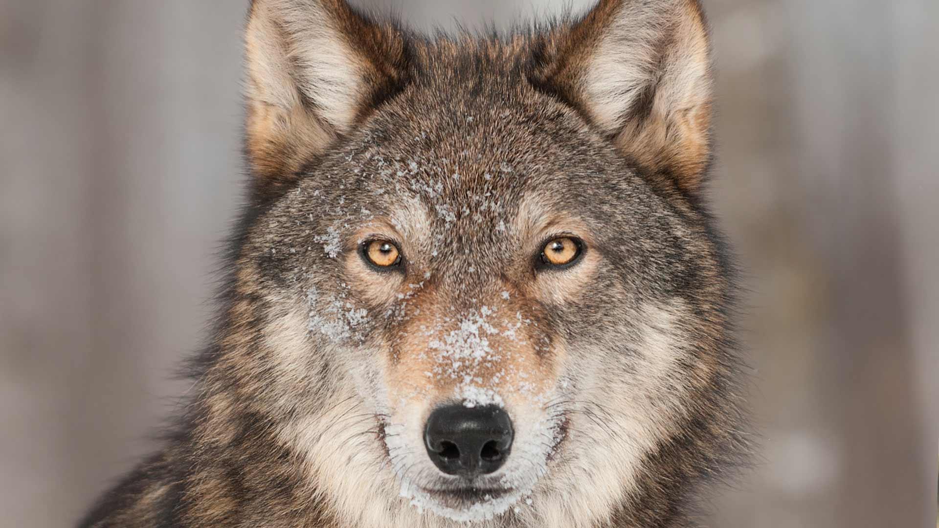 Il lupo va protetto e non si tocca! Uomo, sei tu l'ipocrita assassino.
