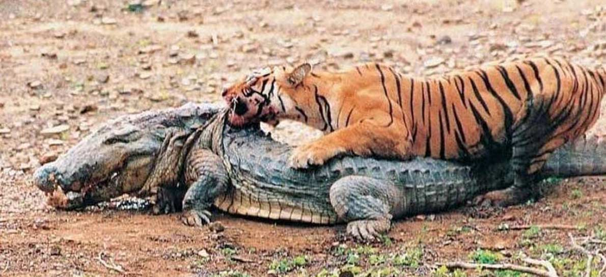 Machli, la tigre più famosa del mondo