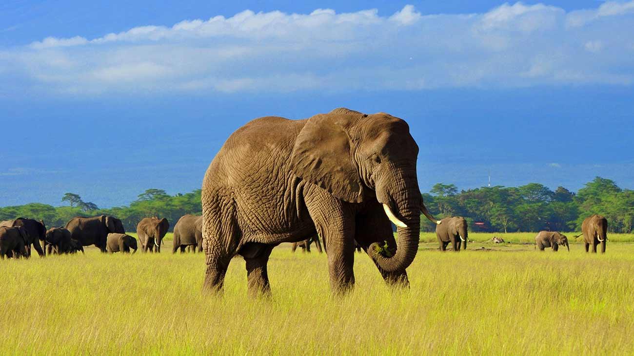 Gli elefanti africani, ora sono CRITICALLY ENDANGERED.